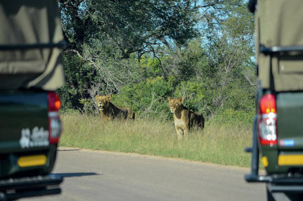 Photograph - Lion Watch by Gaelyn Olmsted