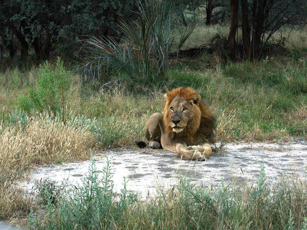 Photograph - Lion Watching by Karen Zuk Rosenblatt