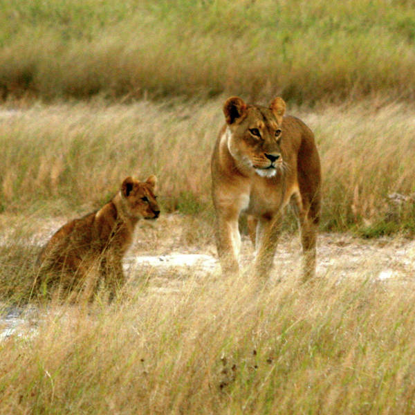 Photograph - Lioness And Cub by Karen Zuk Rosenblatt