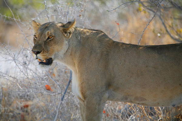 Wall Art - Photograph - Lioness by Bruce J Robinson