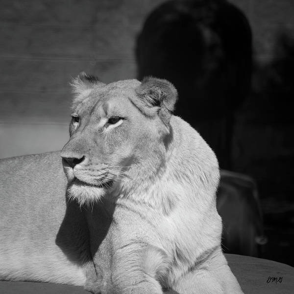 Photograph - Lioness I Bw Sq by David Gordon