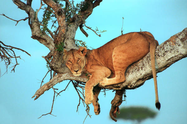 Photograph - Lioness In Africa by Sebastian Musial