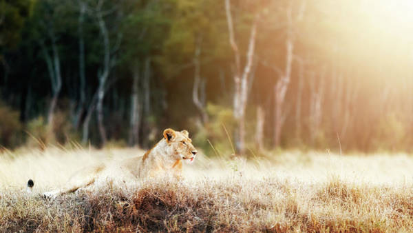 Wall Art - Photograph - Lioness In Morning Sunlight After Breakfast by Susan Schmitz