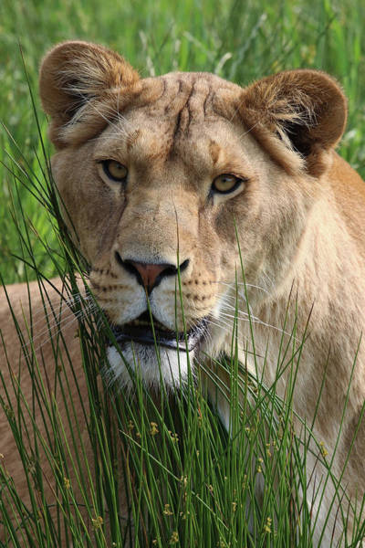 Photograph - Lioness In The Grass by Tazi Brown