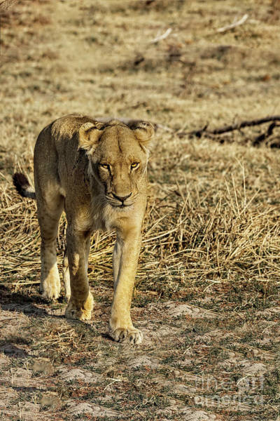 Photograph - Lioness Of The Kalahari by Kay Brewer
