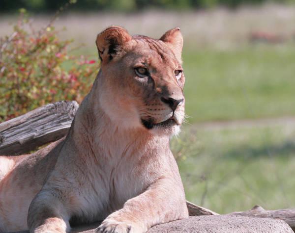 Photograph - Lioness Portrait by Dan Sproul