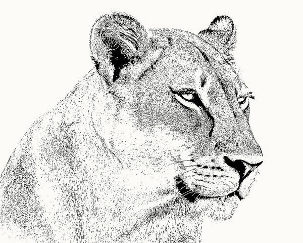 Photograph - Lioness Portrait by Scotch Macaskill