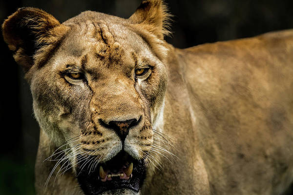 Photograph - Lioness by Ron Pate