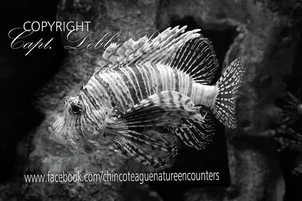 Photograph - Lionfish by Captain Debbie Ritter