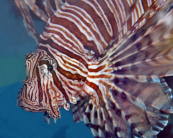 Photograph - Lionfish by Larry Linton