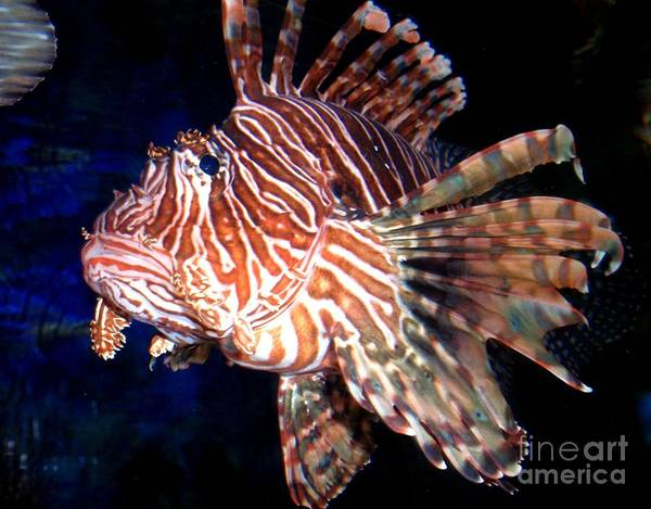 Wall Art - Photograph - Lionfish The Great by Valia Bradshaw