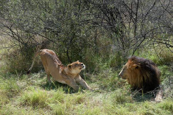 Photograph - Lions by Adele Aron Greenspun