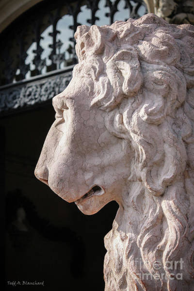 Photograph - Lion's Gaze by Todd Blanchard