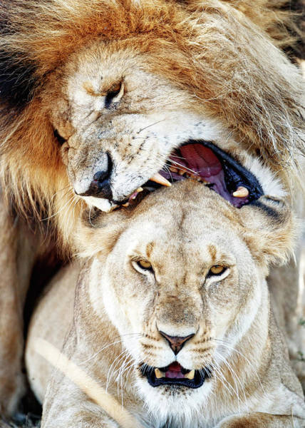 Nature Conservancy Photograph - Lions Mating Giving Love Bite by Susan Schmitz