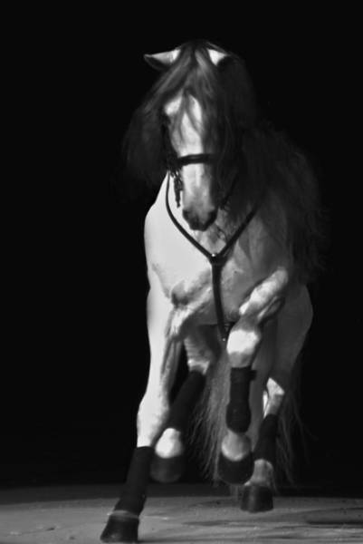 Photograph - Lipizzan 1 by Catherine Sobredo