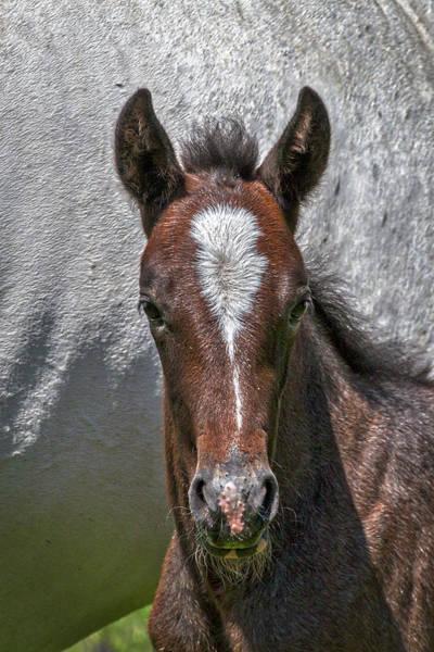 Photograph - Lipizzan Horses #2 by Stuart Litoff