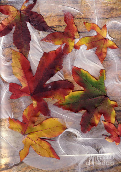 Photograph - Liquidamber And Feathers by Elaine Teague
