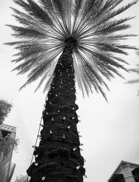 Photograph - Lit Palm Tree, Coconut Grove by Scott Lacey