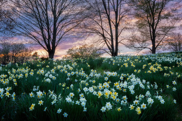 Photograph - Litchfield Daffodils by Bill Wakeley