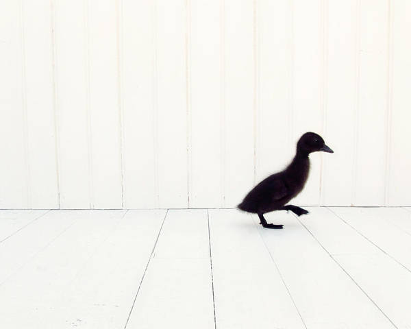 Duck Photograph - Little by Amy Tyler