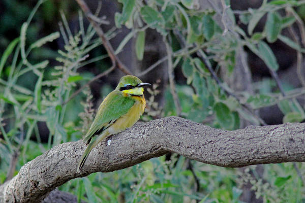 Photograph - Little Bee Eater by Tony Murtagh