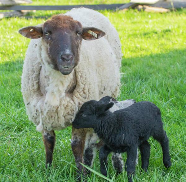 Photograph - Little Black Sheep by Buddy Scott