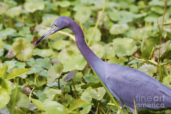 Little Blue Heron Photograph - Little Blue At De Leon Springs by Deborah Benoit