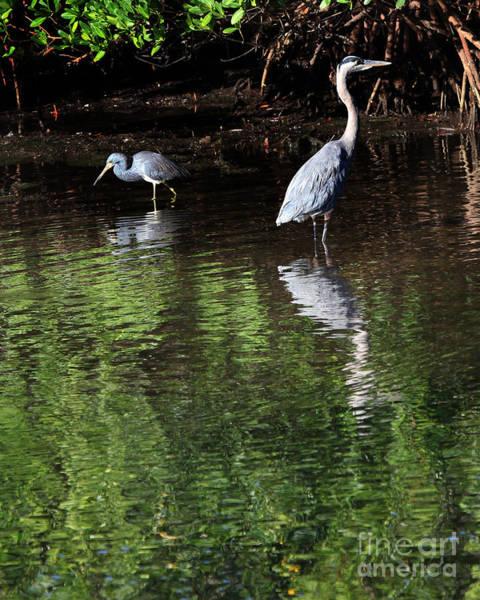 Little Blue Heron Photograph - Little Blue Great Blue by Joseph G Holland