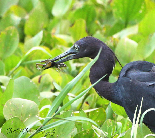 Photograph - Little Blue Heron Catches A Frog by Barbara Bowen