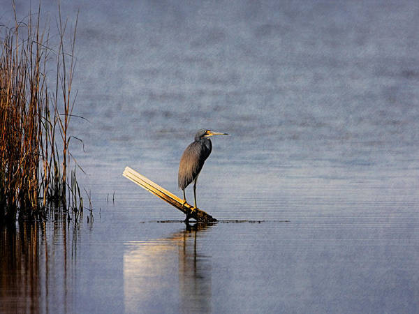 Photograph - Little Blue Heron by Charles McKelroy