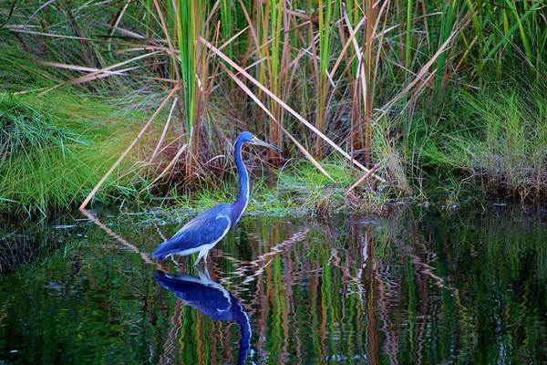 Photograph - Little Blue Heron by Cynthia Guinn