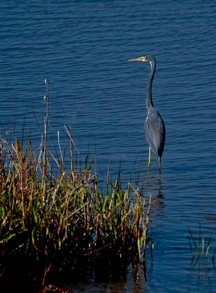 Ormond Photograph - Little Blue Heron by DigiArt Diaries by Vicky B Fuller