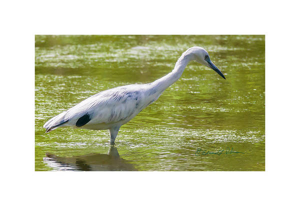 Photograph - Little Blue Heron Fishing by Edward Peterson