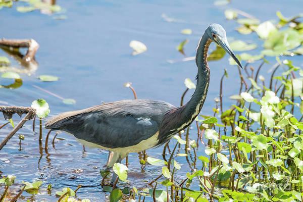 Photograph - Little Blue Heron Fishing by Michael D Miller