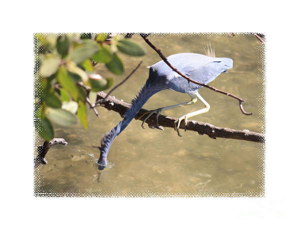 Little Blue Heron Photograph - Little Blue Heron Going For Fish With Framing by Carol Groenen