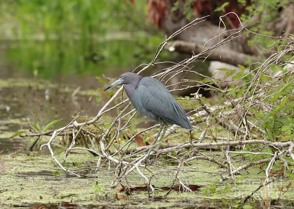 Little Blue Heron Photograph - Little Blue Heron In Beautiful Marsh by Carol Groenen