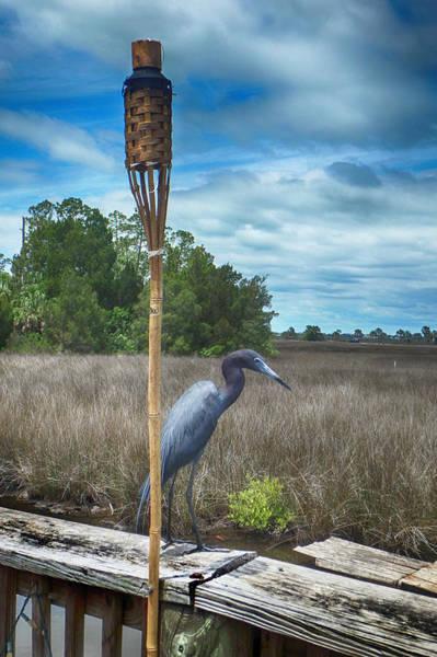 Photograph - Little Blue Heron by Judy Hall-Folde