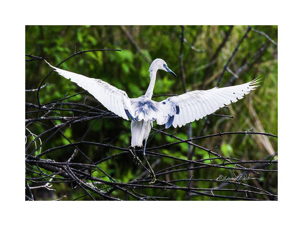 Photograph - Little Blue Heron Landing by Edward Peterson