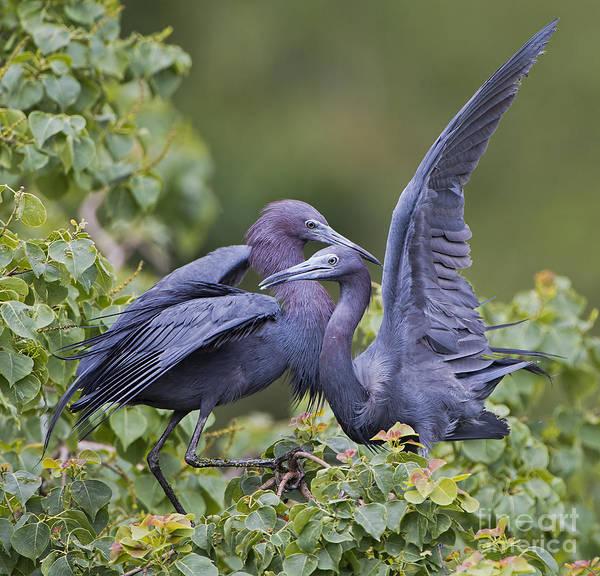 Little Blue Heron Photograph - Little Blue Heron Mates by Bonnie Barry