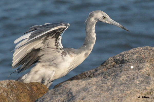 Photograph - Little Blue Heron On The Rocks by Dan Williams