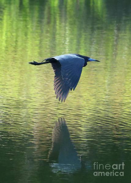 Little Blue Heron Photograph - Little Blue Heron Over Green Pond by Carol Groenen