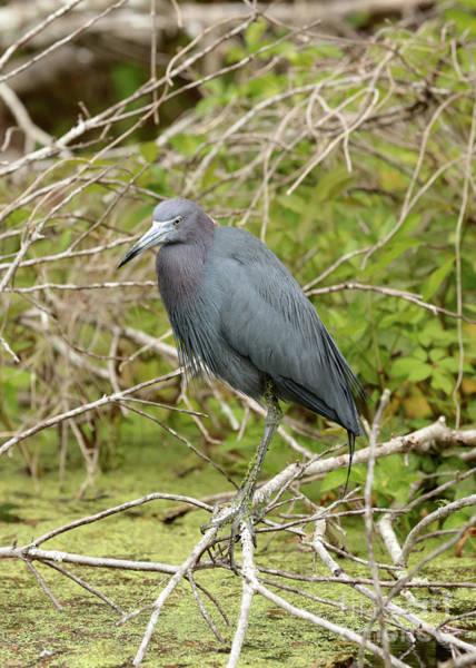 Little Blue Heron Photograph - Little Blue Heron Over The Marsh by Carol Groenen