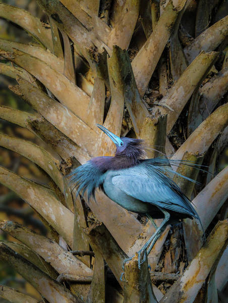 Photograph - Little Blue Heron by Steve Zimic