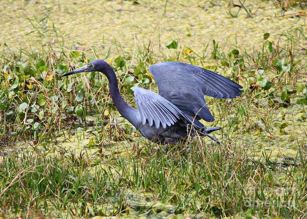 Little Blue Heron Photograph - Little Blue Heron Walking In The Swamp by Carol Groenen