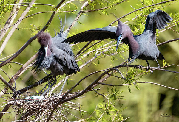 Photograph - Little Blue Herons At The Nest by Judi Dressler
