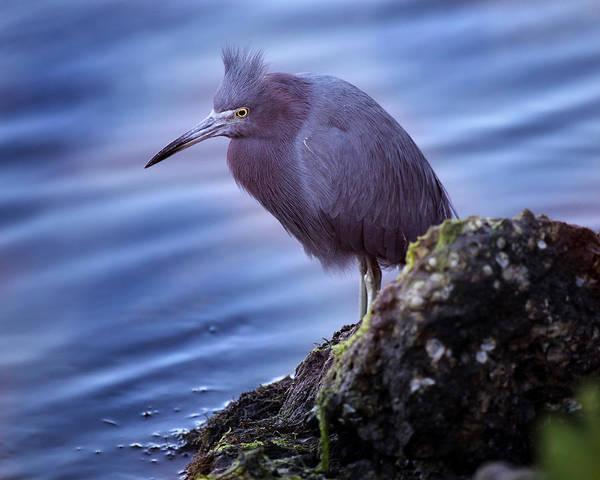 Little Blue Heron Photograph - Little Blue by Joseph G Holland