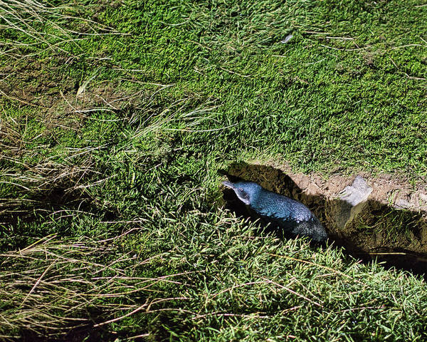 Photograph - Little Blue Penguin 2 - New Zealand by Steven Ralser