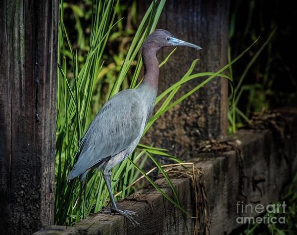 Bird Watcher Photograph - Little Blue Under Bridge by Robert Frederick
