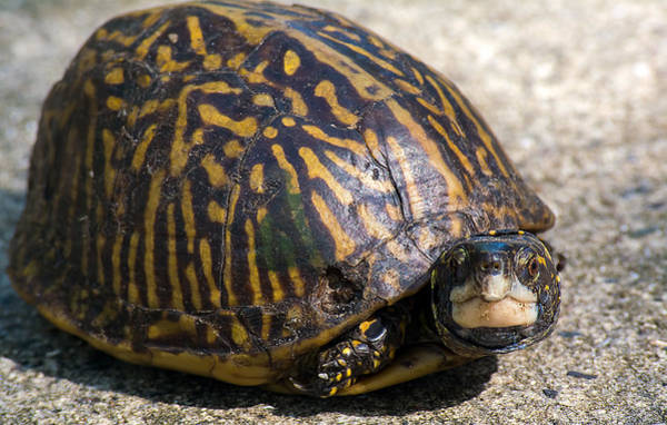 Box Turtle Photograph - Little Box Turtle by Kenneth Albin