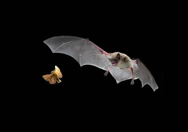 Wall Art - Photograph - Little Brown Bat Hunting Moth by Michael Durham